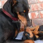 doberman-tends-puppy