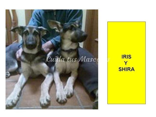 iris-y-shira