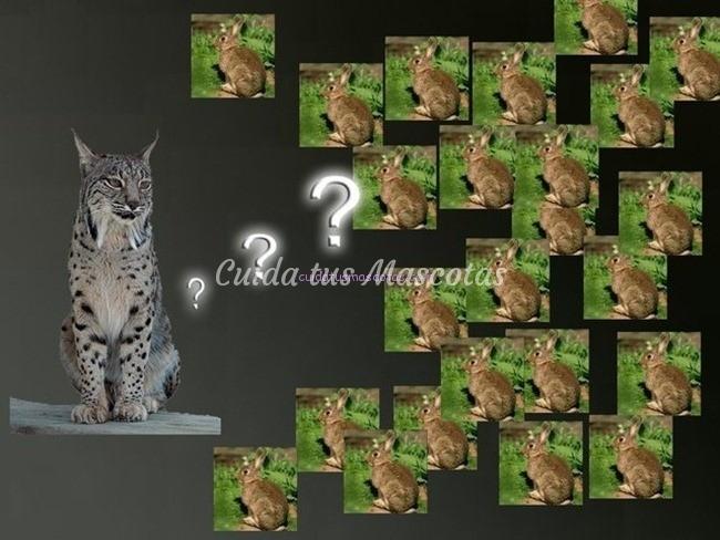 extincion del lince por el conejo