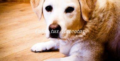 perro raza labrador retriever