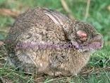 mixomatosis conejo
