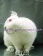 pastaurela otitis conejos