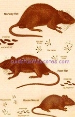 rata leptospirosis