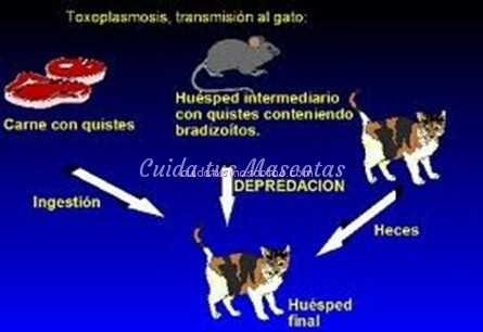 toxoplasmosis gatos