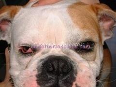 Bulldog_conjuntivitis_001