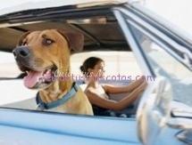 coche perro