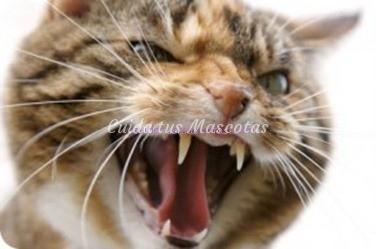 Agresividad-en-los-gatos