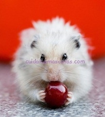 hamster citricos