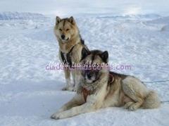 perros-hielo