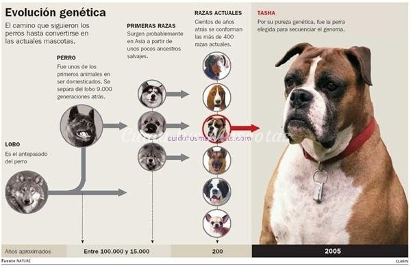 tasha evolucion genetica perro
