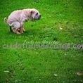 perros estreñimiento