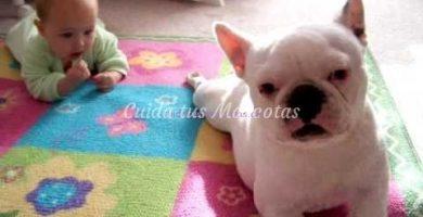 bulldog ayuda a gatear a un bebe