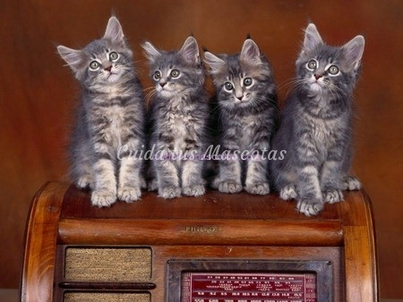 enfermedades-hereditarias-gato