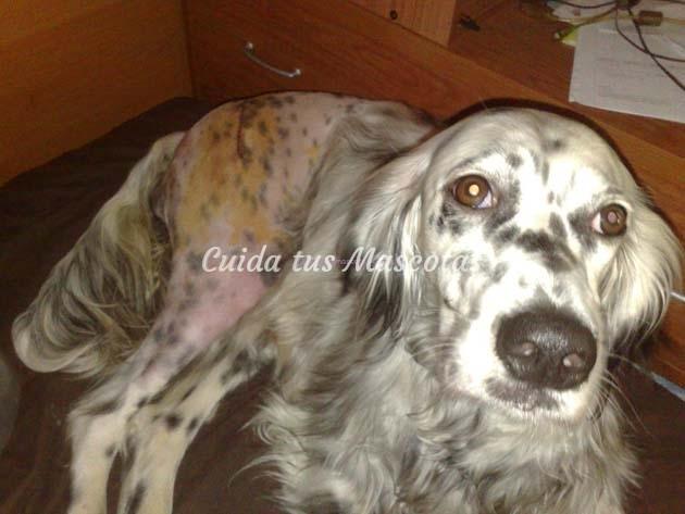 operación displasia de cadera en perro Ziska