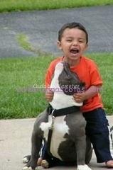 pitbull-niño