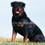 Rottweiler-leyenda