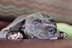 pitbull-sindrome-cachorro-nadador