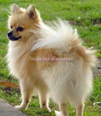 chihuahua-pelo-largo