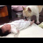 Un Bulldog calma los llantos de un Bebé