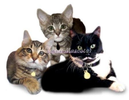 edad-castracion-gato