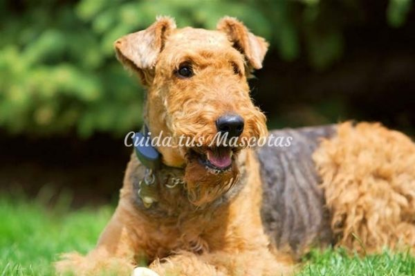 bonita foto de airedale terrier