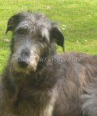 Deerhound, un perro gigante muy cariñoso