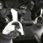 El Boston Terrier
