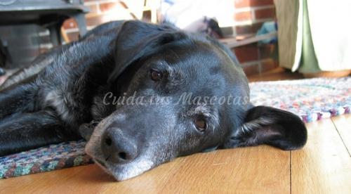 El alzheimer en los perros