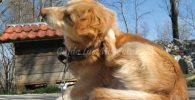 El prurito en los perros