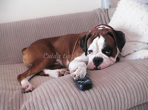 perro en el sofa tumbado