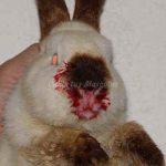 Hemorragia vírica conejos