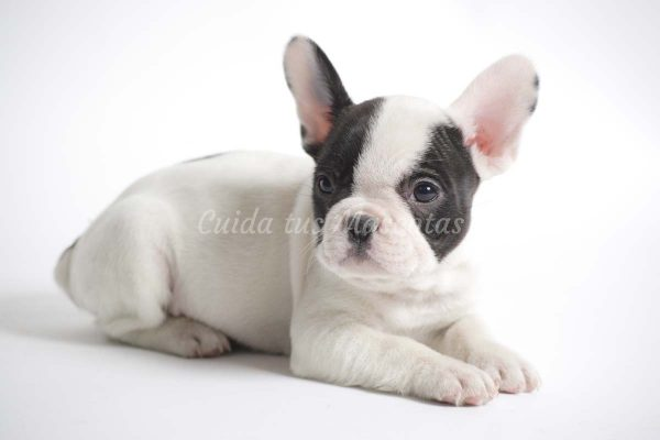 Cachorro de Bulldog Frances