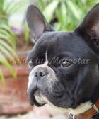 bulldog frances negro