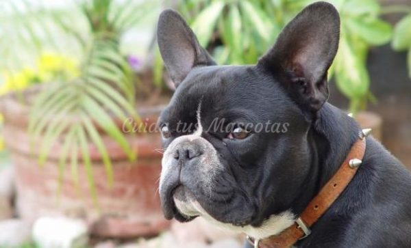 bulldog_frances