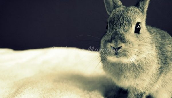 otitis conejos