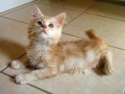 cardiomiopatía hipertrófica felina