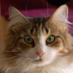 glucogenosis Tipo IV en gatos