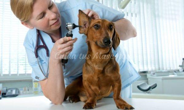 infecciones perros verano