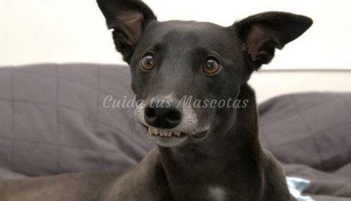 El cuidado de los dientes de los perros