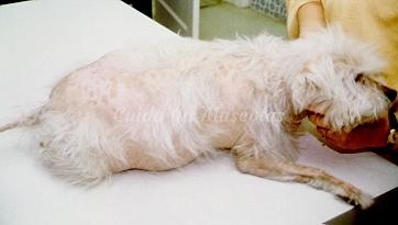 El hiperadrenocorticismo en los perros