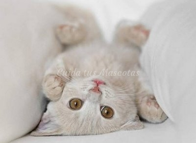 Problemas cardíacos más habituales en gatos