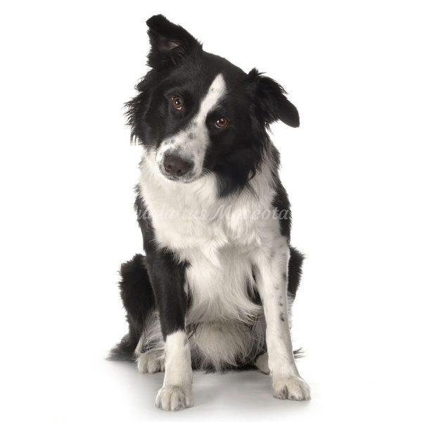Problemas cardíacos más habituales en perros