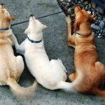 Qué expresa un perro con el movimiento de la cola