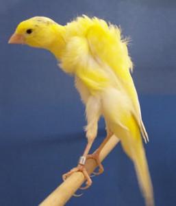 enfermedades más comunes de los canarios