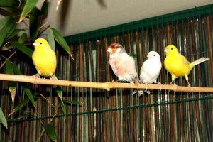 cuidados de los canarios