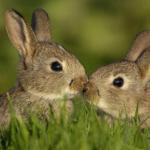 reproduccion de los conejos