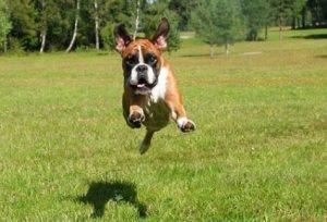 perro saltarin