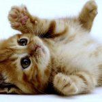 Por qué los gatos ronronean