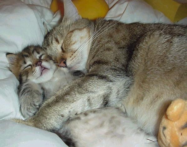 Por qué los gatos ronronean b