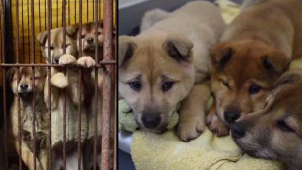 perros en Corea del Sur